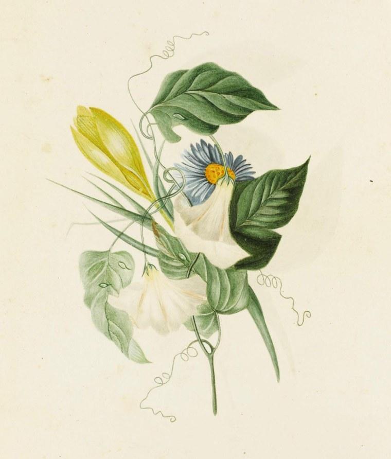 «Aster», aquarelle Charlotte Brontë, c1832, Sothebys