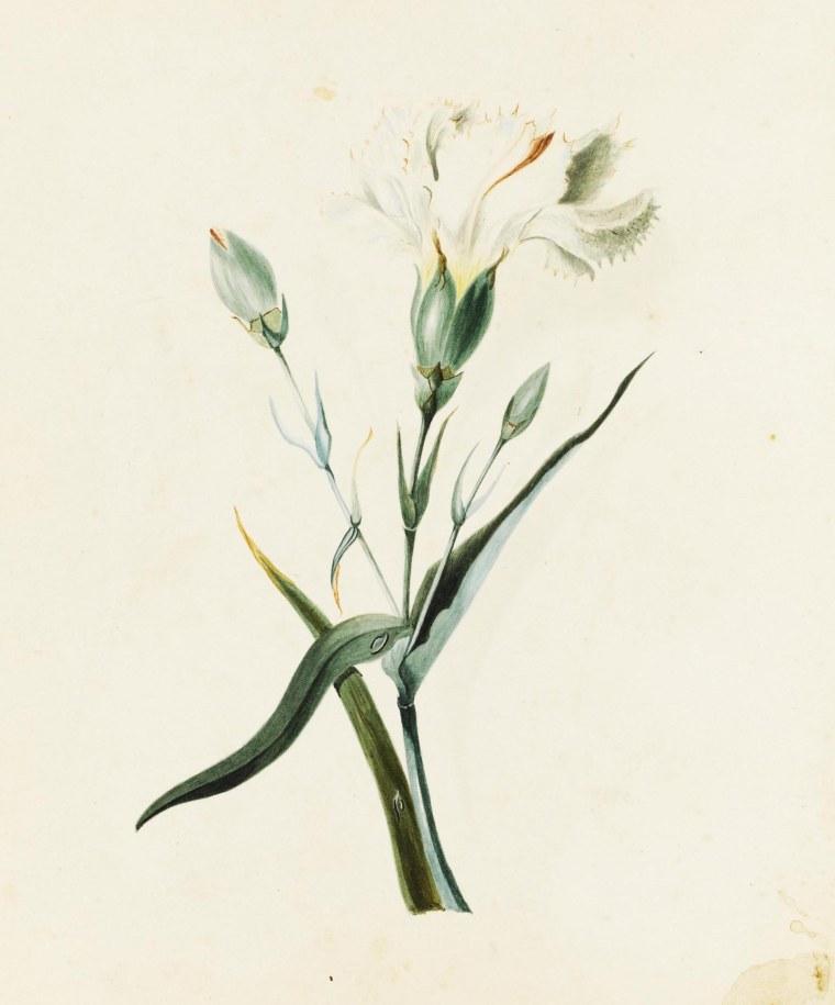 «Œillet», aquarelle Charlotte Brontë, c1832, Sothebys