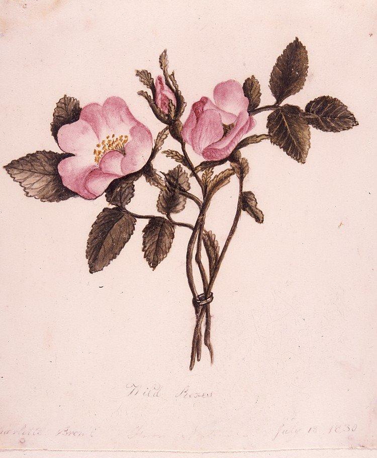 Rosier sauvage par Charlotte Brontë, 13 juillet 1830